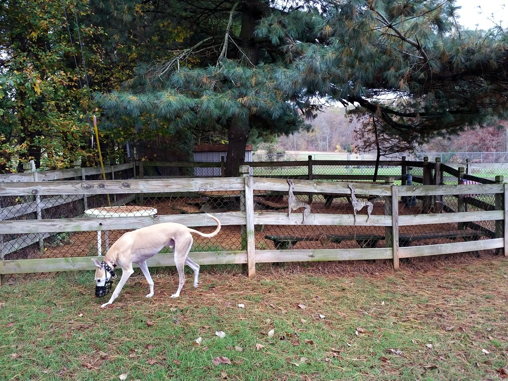 Enclosed Area For Greyhound And Adopter Introductions